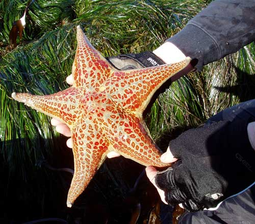 2010_Leather-Star_Huge